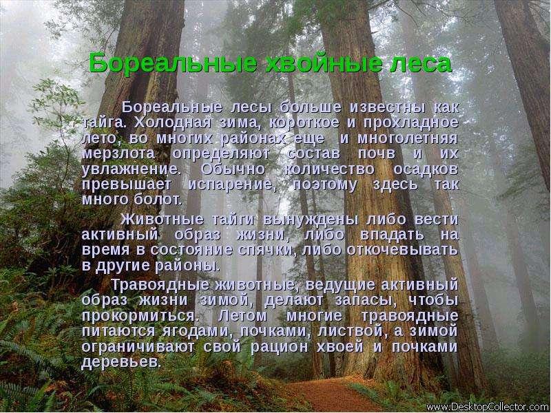 Бореальные хвойные леса Бореальные лесы больше известны как тайга. Холодная зима, короткое и прохлад