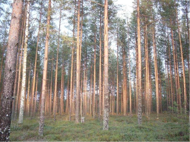 Особенности главных рубок в лесах разного состава и назначения, слайд 11