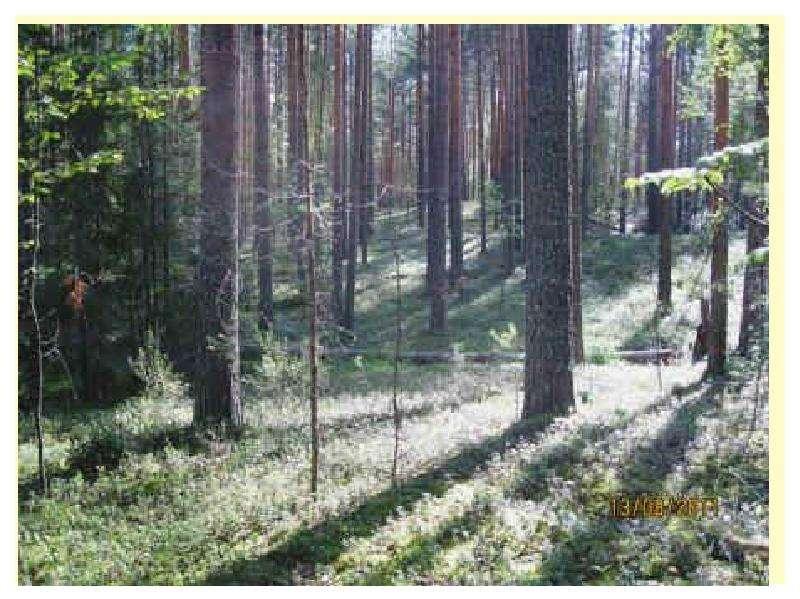 Особенности главных рубок в лесах разного состава и назначения, слайд 12