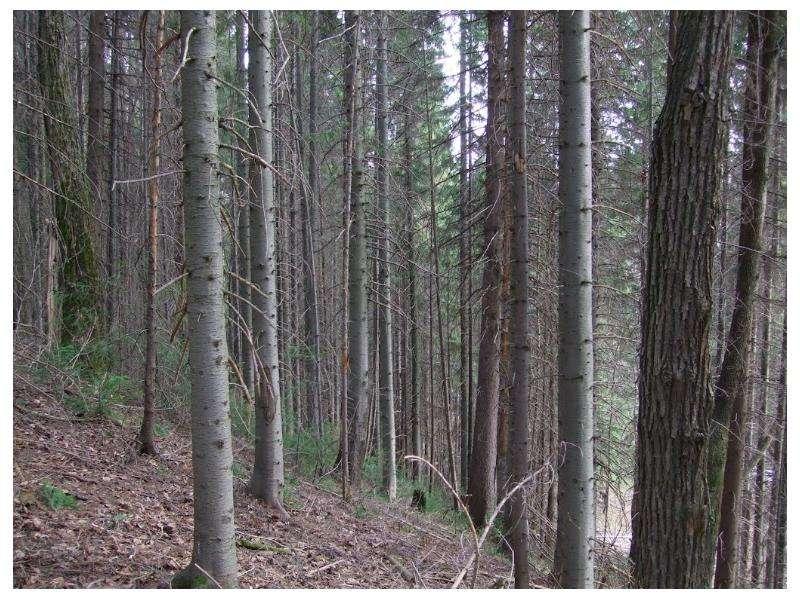 Особенности главных рубок в лесах разного состава и назначения, слайд 17