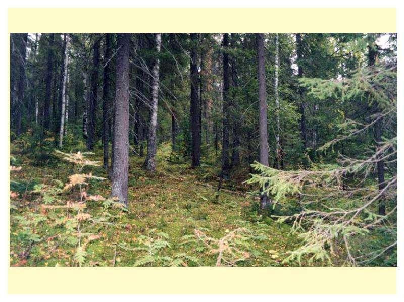 Особенности главных рубок в лесах разного состава и назначения, слайд 5